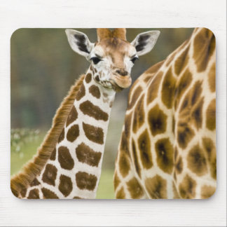 Africa. Kenya. Rothschild's Giraffe baby with 2 Mouse Pad