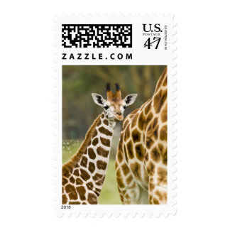 Africa. Kenya. Rothschild's Giraffe baby with 2 Postage