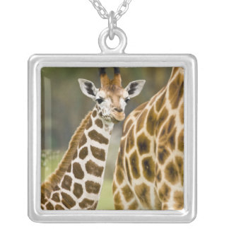 Africa. Kenya. Rothschild's Giraffe baby with 2 Silver Plated Necklace