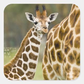 Africa. Kenya. Rothschild's Giraffe baby with 2 Square Sticker