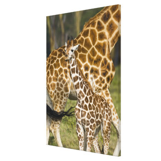 Africa. Kenya. Rothschild's Giraffe baby with Stretched Canvas Print