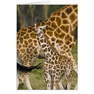 Africa. Kenya. Rothschild's Giraffe baby with Card