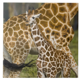 Africa. Kenya. Rothschild's Giraffe baby with Large Square Tile