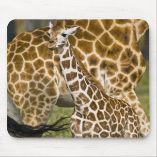 Africa. Kenya. Rothschild's Giraffe baby with Mouse Pad