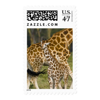 Africa. Kenya. Rothschild's Giraffe baby with Postage