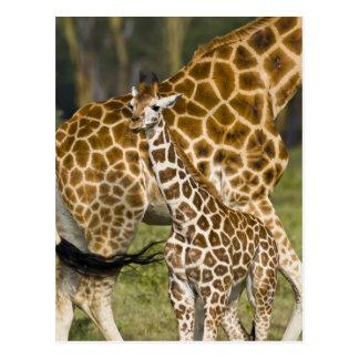 Africa. Kenya. Rothschild's Giraffe baby with Postcard
