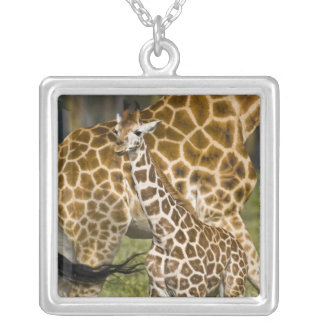 Africa. Kenya. Rothschild's Giraffe baby with Silver Plated Necklace