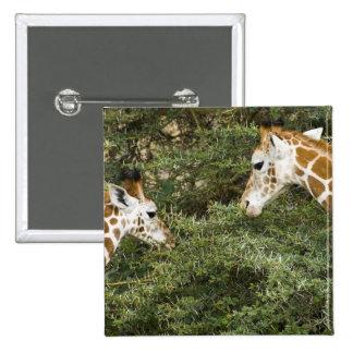 Africa. Kenya. Rothschild's Giraffes at Lake 2 Inch Square Button