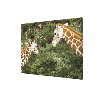 Africa. Kenya. Rothschild's Giraffes at Lake Gallery Wrap Canvas