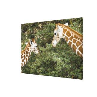 Africa. Kenya. Rothschild's Giraffes at Lake Canvas Print
