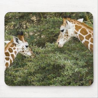 Africa. Kenya. Rothschild's Giraffes at Lake Mouse Pad