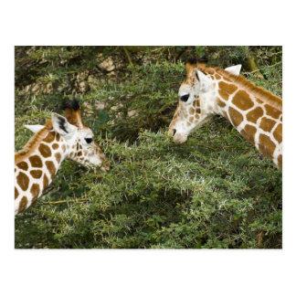 Africa. Kenya. Rothschild's Giraffes at Lake Postcard