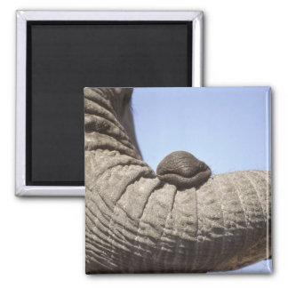 Africa, Kenya, Samburu. Elephant trunk 2 Inch Square Magnet