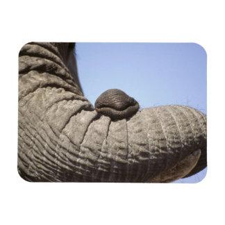 Africa, Kenya, Samburu. Elephant trunk Rectangular Photo Magnet