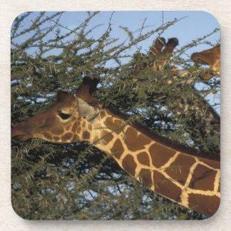 Africa, Kenya, Samburu National Reserve, 2 Drink Coaster