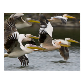 Africa. Kenya. White Pelicans in flight at Lake Postcard