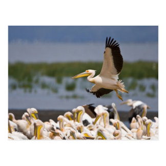 Africa. Kenya. White Pelicans on the shore of Post Card