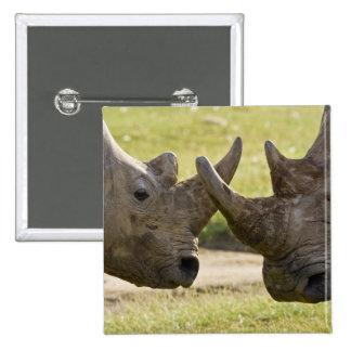 Africa. Kenya. White Rhinos fighting at Lake 2 Inch Square Button
