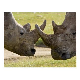 Africa. Kenya. White Rhinos fighting at Lake Postcard