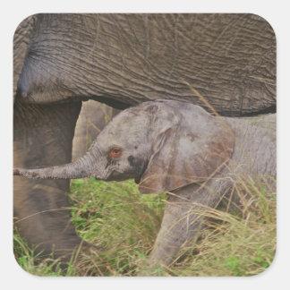 Africa, Kenya wildlife, baby elephant. Square Sticker