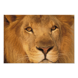 África. León masculino africano, o panthera leo. Cojinete
