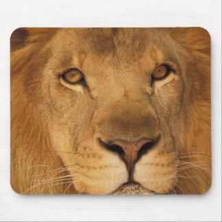 África. León masculino africano, o panthera leo. Mouse Pads