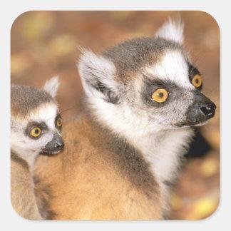 Africa, Madagascar, Berenty Private Reserve. Square Sticker