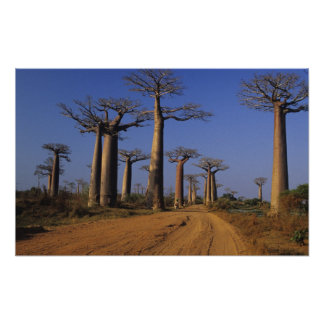 África, Madagascar, Morondava, avenida del baobab Impresiones