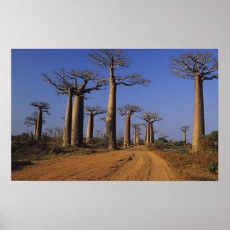 África, Madagascar, Morondava, avenida del baobab Póster