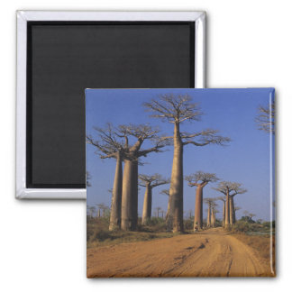 Africa, Madagascar, Morondava, Baobab Avenue. 2 Inch Square Magnet