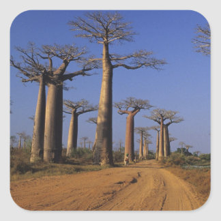 Africa, Madagascar, Morondava, Baobab Avenue. Square Sticker