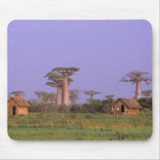 Africa, Madagascar, Morondava. Baobabs Mouse Pad