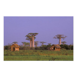 África, Madagascar, Morondava. Baobabs Poster