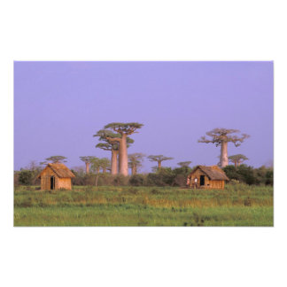 Africa, Madagascar, Morondava. Baobabs Photographic Print