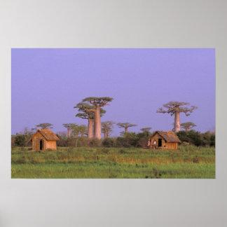 África, Madagascar, Morondava. Baobabs Póster