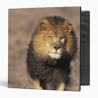 Africa. Male African Lion Panthera leo) Binders