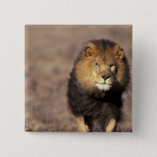 Africa. Male African Lion Panthera leo) Button