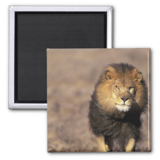 Africa. Male African Lion Panthera leo) Magnet