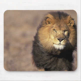 Africa. Male African Lion Panthera leo) Mouse Pad