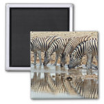 Africa, Namibia, Etosha NP. Burchell's Zebra 2 Inch Square Magnet