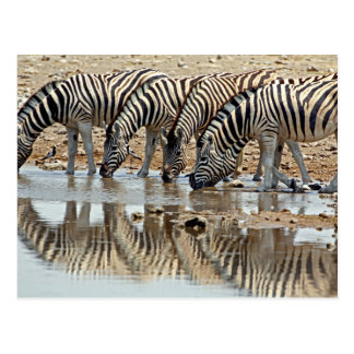 Africa, Namibia, Etosha NP. Burchell's Zebra Postcards