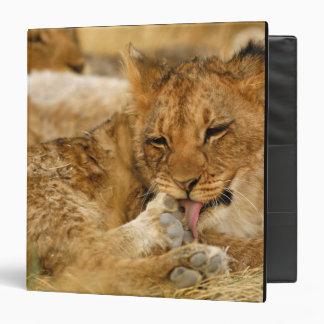 Africa, Namibia, Etosha NP. Lion Panthera 3 Ring Binder