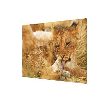 Africa, Namibia, Etosha NP. Lion Panthera Canvas Print