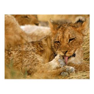 Africa, Namibia, Etosha NP. Lion Panthera Postcard
