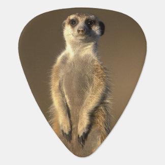Africa, Namibia, Keetmanshoop, Meerkat (Suricate Guitar Pick