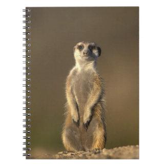Africa, Namibia, Keetmanshoop, Meerkat (Suricate Notebook