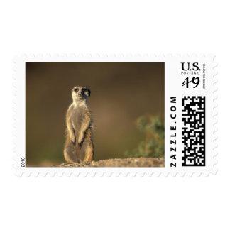 Africa, Namibia, Keetmanshoop, Meerkat (Suricate Postage