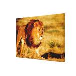 África, Namibia, Okonjima. León masculino Impresión En Lienzo