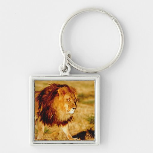 África, Namibia, Okonjima. León masculino solitari Llavero Cuadrado Plateado