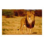 África, Namibia, Okonjima. León masculino solitari Arte Con Fotos
